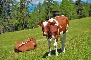 Unser Kühe auf der Alm